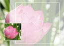 Rouwkaart lotusbloem